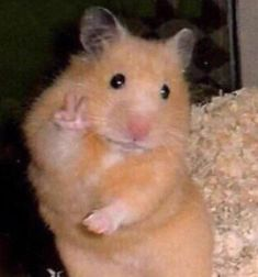 This sub is dedicated to hamsters and their humans. Cute Memes, Really Funny Memes, Stupid Funny Memes, Scared Meme, Baby Animals Super Cute, Cute Little Animals, Baby Animals Pictures, Cute Animal Pictures, Funny Animal Jokes