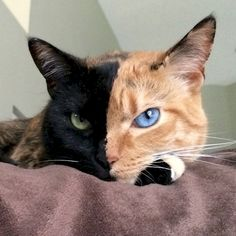 12. This cat is black AND orange AND beautiful!
