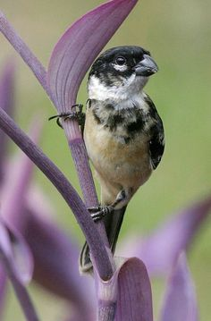 White-collared Seedeater: Texas in the U.S. via Mexico & Central America to Panama. Photo Peter Dunn