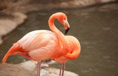 Beautiful Flamingo Couple Near Pond by Andy Dean Photography on @creativemarket