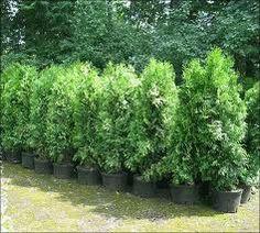thuja brabant - natural fence?