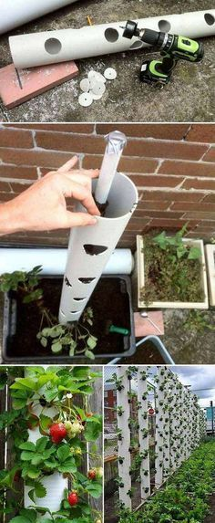 Grow sweet strawberry in a vertical PVC tube is great solution for small garden or yard. Vertical planter will save you a lot of space, at the same time keep plants out of reach from garden insect pes(Diy Garden Projects) Garden Insects, Garden Pests, Potager Garden, Hydroponic Gardening, Container Gardening, Organic Gardening, Hydroponics, Balcony Gardening, Herb Gardening