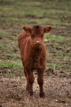 I have a weird love for baby cows! Baby Farm Animals, Baby Cows, Small Town Girl, Local Shelters, Down On The Farm, Cutest Thing Ever, Gentle Giant, Cute Photos, Animal Shelter