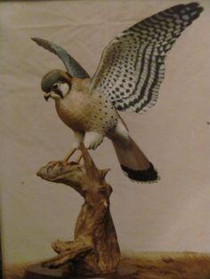 Sparrow Hawk wood sculpture