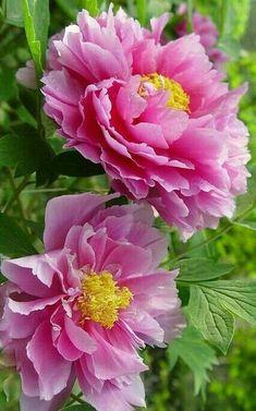 Botanical Flowers, Exotic Flowers, Real Flowers, Pink Flowers, Beautiful Flowers, Peony Painting, Watercolor Flowers, Peony Flower, Flower Art