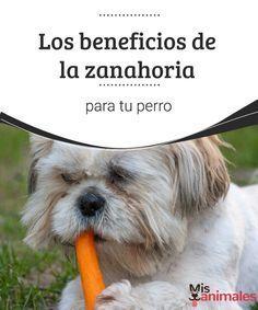 Los beneficios de la zanahoria para tu perro  La zanahoria tiene muchos beneficios para nuestras amadas mascotas. Es una excelente manera de premiarlos cuando se portan bien. #zanahorias #beneficios #alimentación #canes
