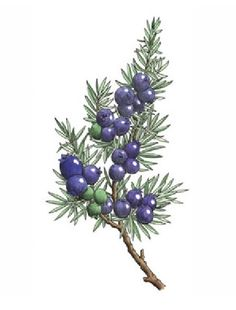 Juniper branch with berries color illustration.