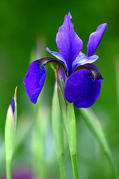 This week, the Iris flower starting to bloom in Willowood Garden. Today is the celebration of mother's day too. Blue Garden, Dream Garden, Purple Flowers, Beautiful Flowers, Purple Iris, Hibiscus, Garden Plants, Tulips, Planting Flowers