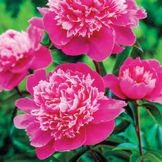 Update a distinctive ambience to your garden with Spring Hill Nurseries Madame Emile Debatene Peony (Paeonia), Live Bareroot Perennial Plant, Pink Flowers. Bulb Flowers, Pink Flowers, Spring Hill Nursery, Sun Perennials, Peonies Garden, Flowers Garden, Planting Bulbs, Fall Planting, Shade Plants