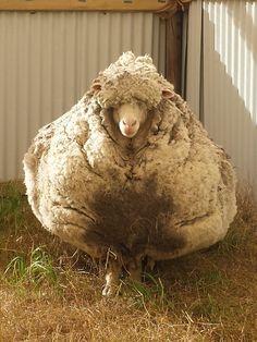 Ce mouton laineux, baptisé Chris, a été emmené dans un local de l'organisation pour le bien-être des animaux.