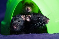 Rats are friends not food