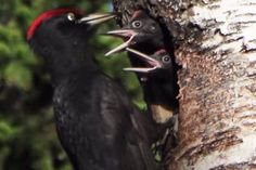Palokärki - Dryocopus martius, on its nest feeding the chicks, Videot | Suomen Luonto