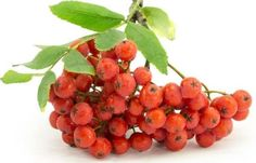 Some of the health benefits of rowan berries include its ability to boost the immune system, strengthen the respiratory system, improve digestion, prevent certain cancers, and reduce bacterial infections.