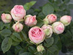 #love #sheppard #comment #handmade #zaun #rosen #terrasse #steine