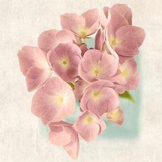 Pink Hydrangea Art Print - Fine Art Flower Photography Print by Allison Trentelman. - Rocky Top Studio