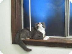 HILLSBORO, OR - Domestic Shorthair. Meet PENNY, a cat for adoption. http://www.adoptapet.com/pet/13551828-hillsboro-oregon-cat