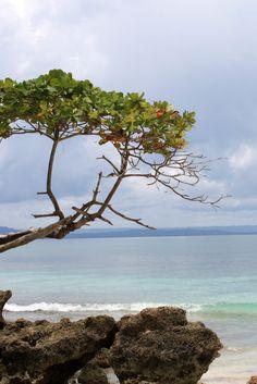 Beach grapes tree in Cayo Levantado