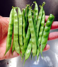 Greasy Beans: Seeds to Plant. Organic, Heirloom, Heritage. Appalachian from local.