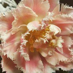 Feather tulip