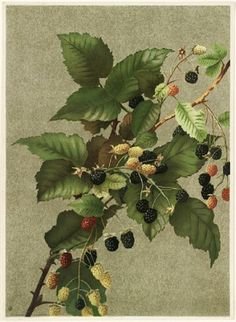 Blackberries, 1887, Ellen T. Fisher
