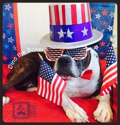 Happy 4th of July from Dino The Boxer #boxerlove#4thofjuly#dogs#USA#boxerdogs#