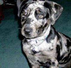 Catahoula Leopard Dog!! This is what Maddie is (: I want another Maddie so bad! Have two cuties
