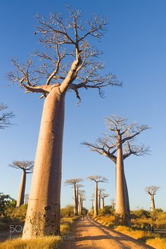 Baobab trees by Pierre-Yves-Babelon Baobab Tree, Mother Nature, Wind Turbine, Tourism, Trees, Vacation, Landscape, Madagascar, World