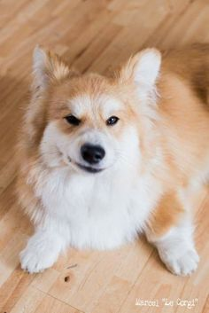 Corgipomeranian Mix Dyed Dogs And Poodles Pinterest Corgi