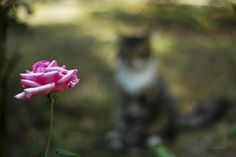 Cat and Rose//500px.com  (I'm unsure how I feel about this shot--I like the idea; I don't care for the composition.  I may try the technique at some point, though.)