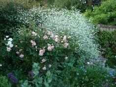 Rosa Felicia & Crambe Cordifolia