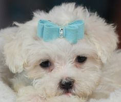 ♥♥♥ Teacup Maltese! ♥♥♥ Bring This Perfect Baby Home Today! Call 954-353-7864 www.TeacupPuppies... ♥ ♥ ♥ TeacupPuppiesStore - Teacup Puppies Store Tea Cup