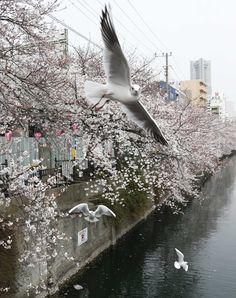 Seagulls fly over blooming cherry blossoms along the Oka river in Yokohama, Japan, on March 24, 2013. (Photo by Koji Sasahara/AP Photo)