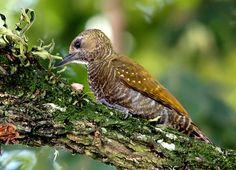 Pica-Pau-de-Cauda-Vermelha -------- ( Veniliornis kirkii ) ( Fêmea ) - Brasil , Colômbia , Costa Rica , Equador , Guiana , Panamá , Peru , Trinidad e Tobago e Venezuela.