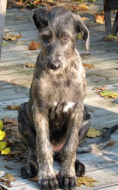 Irish wolfhound pup- I can't wait till I can own one again! Luckily Jason wants one too! :)