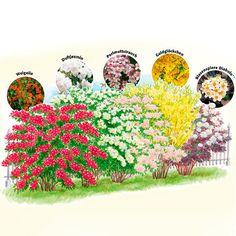 Gärtner Pötschkes Blütenhecke, 5 Pflanzen