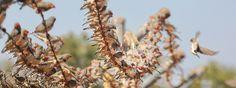 To je veľa, veľa, veľa, a ešte raz veľa Zebričiek p. austrálskych. Krása . It is so many, many, many and one more many Zebra Finches. Nice