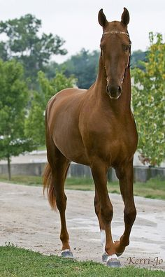 Akhal Teke stallion Gerald. One day!!