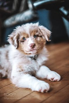 The traits I adore about the Intelligent Australian Shepherd Puppies Australian Shepherds, Australian Shepherd Puppies, Aussie Puppies, Cute Dogs And Puppies, I Love Dogs, Cute Baby Animals, Funny Animals, Cute Creatures, Working Dogs