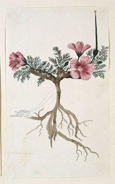 Studies of plants by Robert Jacob Gordon, 1777-86