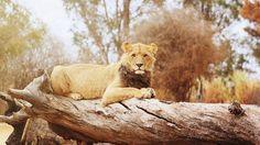 Lion Sitting On A Log