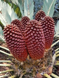 E.eugene-maraisii male cones. Jan.2017 Jan 2017, Water Collection, Farm Gardens, Tropical Garden, Irrigation, Amazing Flowers, Pine Cones, Palms, Palm Trees