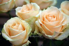 peach avalanche rose - Google Search