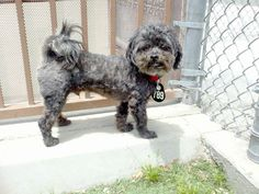 poodle terrier mix haircuts - Google Search