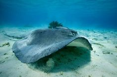 Stingray - Will be holding one of these giant stringrays in Grand Cayman in February!