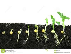 Photo about Germination pea sprout in soil. Image of fecund, season, germinating - 40069154 Seed Germination For Kids, La Germination, Plant Science, Science Art, Science Projects, Roots Drawing, Marijuana Plants, Preschool Science, Plantation
