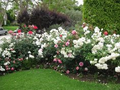 n the front yard flower bed picture above, a curved bed was designed and planted with white 'Iceberg' roses, pink 'Bonica' roses and red 'Hybrid Tea' roses. The bed is edged with miniature pink roses and dwarf impatients.