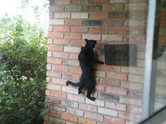 We caught our cat Stormy climbing the wall to catch a lizard! He looks like Spiderman!
