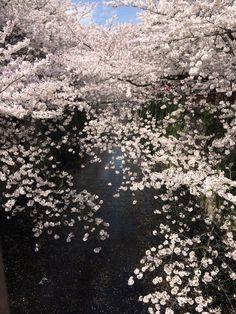 Sakura nakameguro