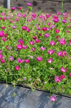 Prairie Moon Nursery :: Seeds :: Callirhoe bushii (Bush's Poppy Mallow); against the house by the rain barrel.