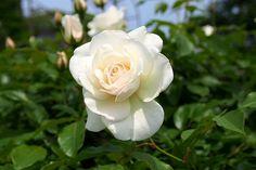 Rose garden of Kanbee Fujisawa